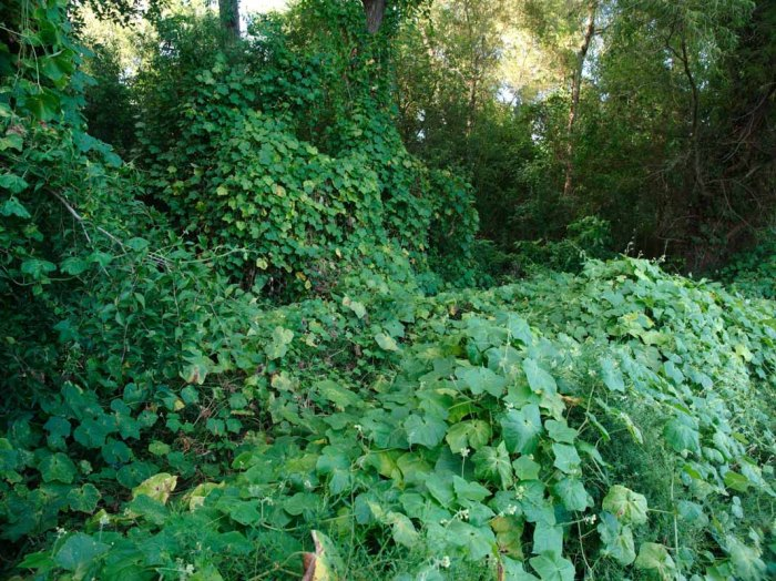 Invasive Alien Species - Plants Overrunning Forest