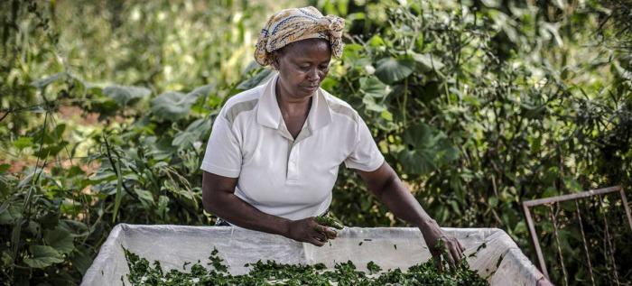 Global Food System - African Woman Sorting Crop