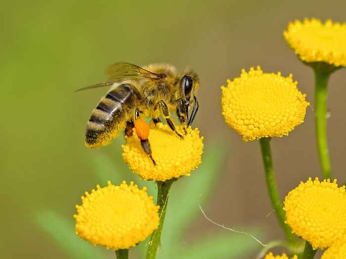 Bee Pollination - Honey Bee on Yellow Flower