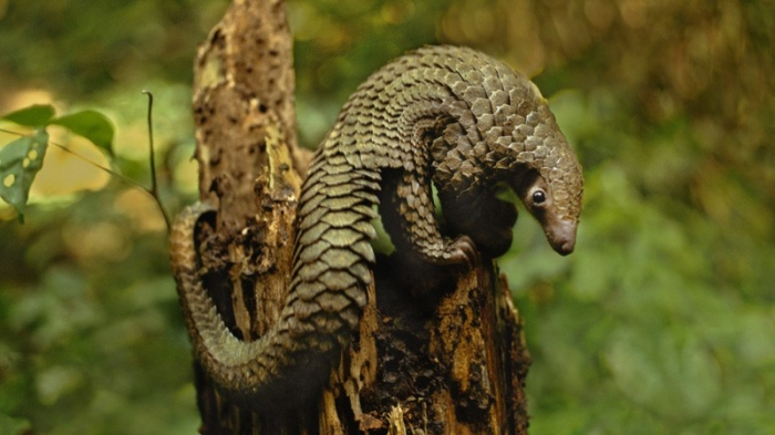 Scaly Anteater (Pangolin) on Stump