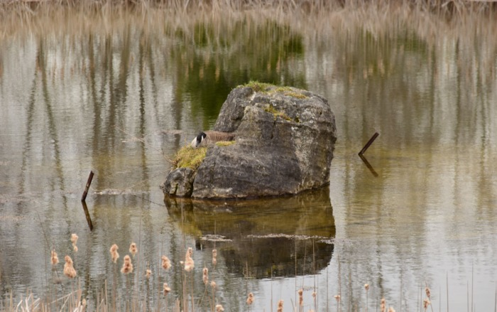 Biodiversity Targets - Mother Goose Nesting on Rock in Pond