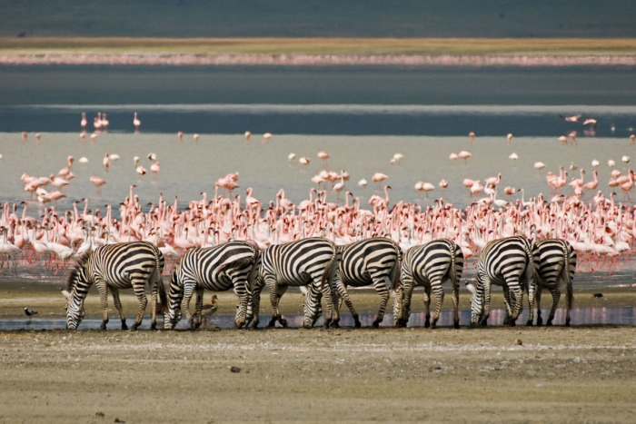 Life Began - Flamingos and Zebras at Lake Magadi