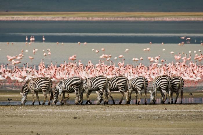 Life Began - Flamingos and Zebras at Lake Magadi