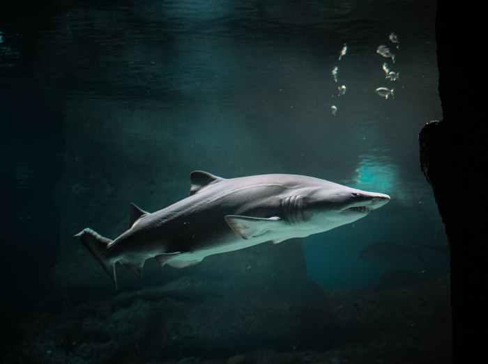Tropical Biodiversity - Shark and school of fish