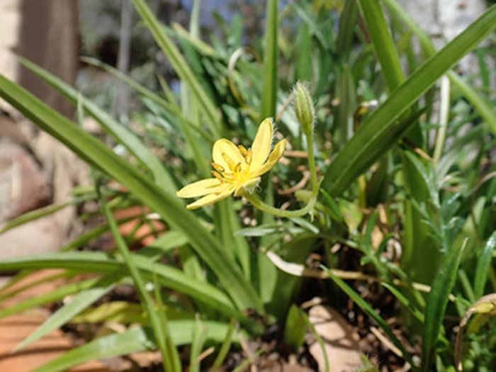 Starchy Plants - Yellow Star Flower of Hypoxis Augustifolia
