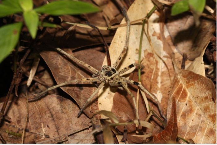 Predators Decline - Spider on Dead Leaves