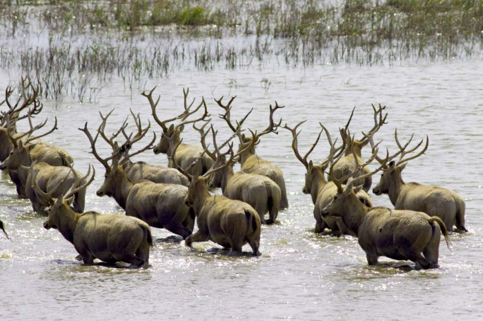 Animal Movement - Elk Herd Crossing River