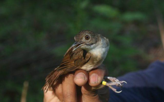 Bird Evolution Sulawesi Babbler